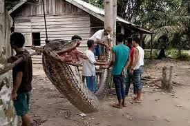 Eat Up! Giant python eaten after villagers killed it