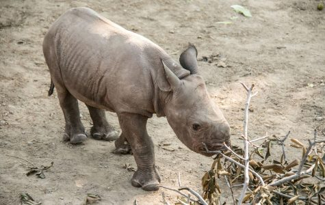 Cleveland Metroparks Zoo welcomes new baby rhino